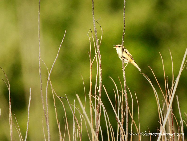 Sedge Warbler @ whiting bay Co.Waterford,May 4,2013
