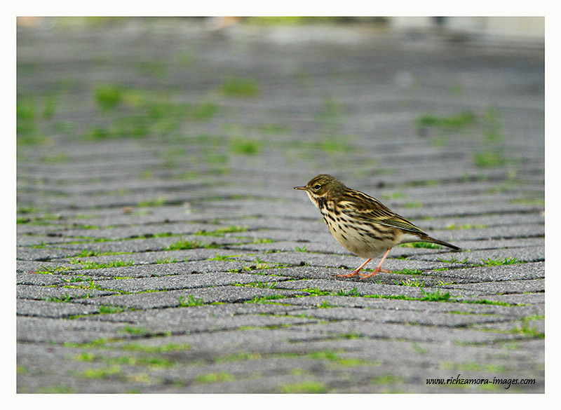 Meadow Pipit @ Tramore beach,2012