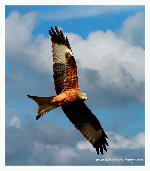 Redkite in flight
