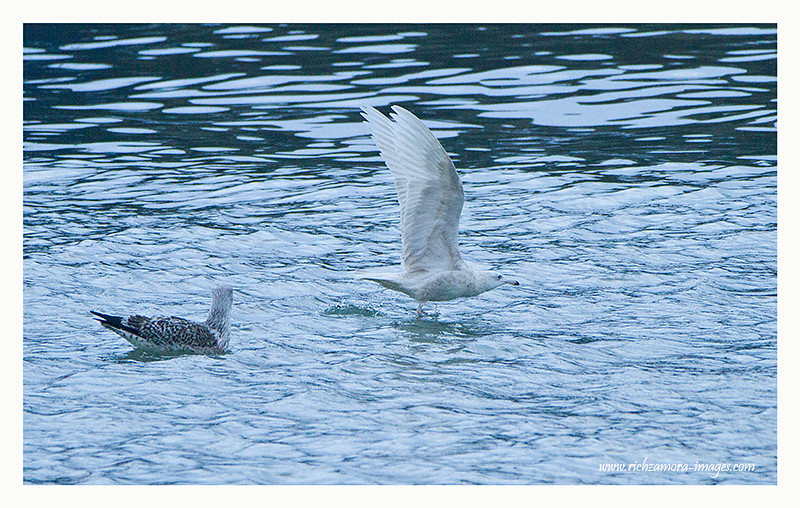 2nd-winter Glaucous Gull @ Dunmore east harbour Dec 31, 2012