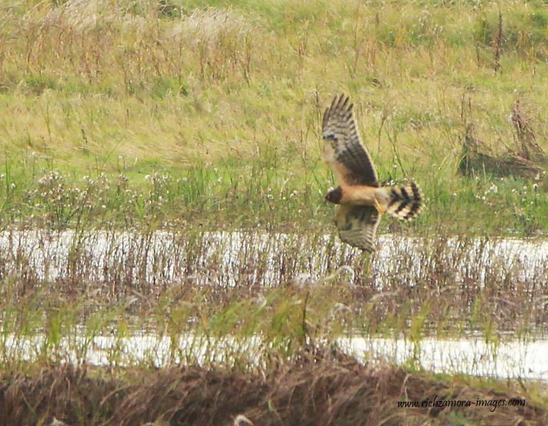 juvenile female Northern Harrier @ Tacumshin lake