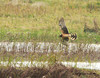 juvenile female Northern Harrier @ Tacumshin lake
