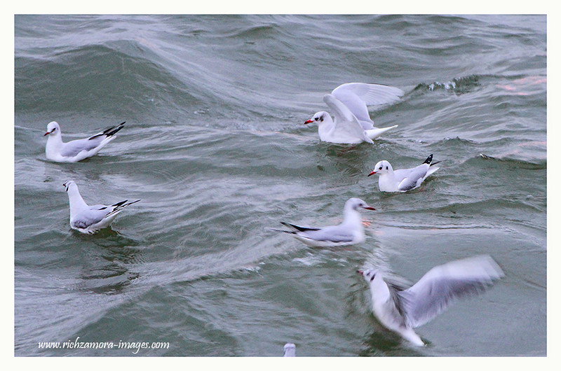 Adult Mediterranean Gull, with Black headed Gulls @ Dunmore east harbour,Jan 20,2013