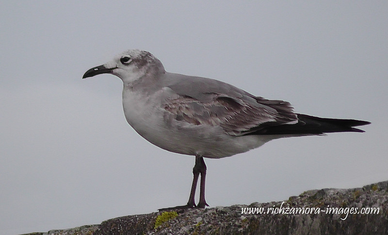Laughing Gull 1st winter @ Ballycotton harbour.Co.Cork. January 18,2014