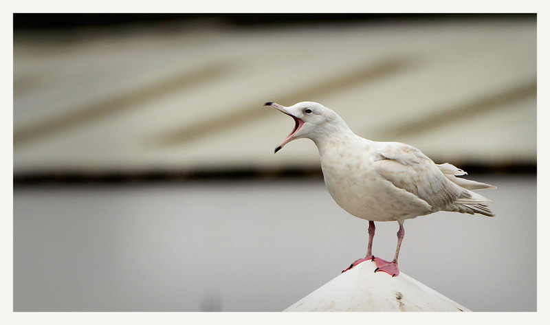 Glaucous gull 2nd winter plumage