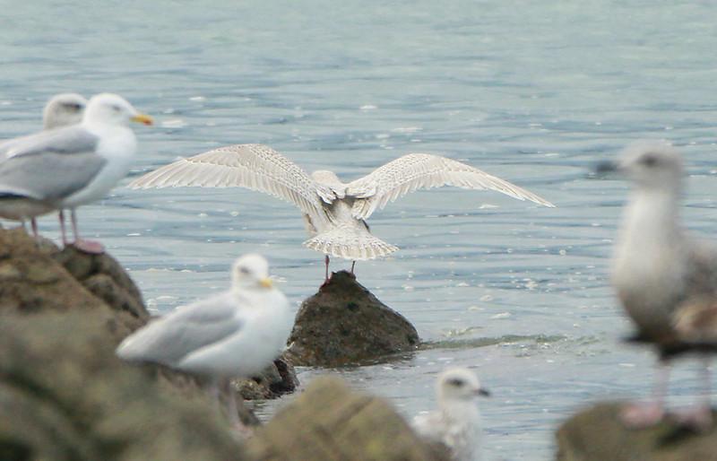 1st-winter Kumlien's Gull @ Helvick pier,January 19,2014