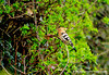 Hoopoe @ creadan head nr.Dunmore east,waterford April 17,2013