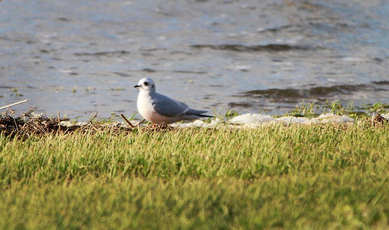 Adult Ross's Gull @ Lady's Island lake,Co.wexford.February 20,2014
