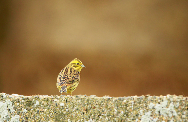 YellowHammer @ Co.Wexford December 1,2013