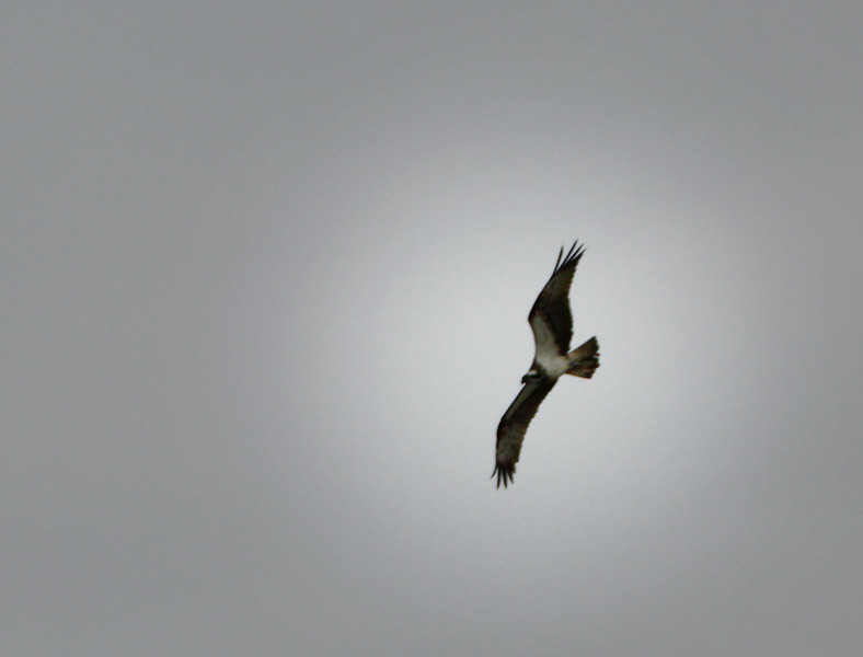 Osprey @ south slob,Co.Wexford,May 19,2013