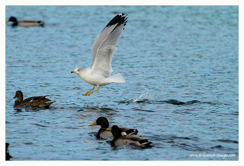 Ring-billed Gull taking off @ the boating lake in tramore 2012