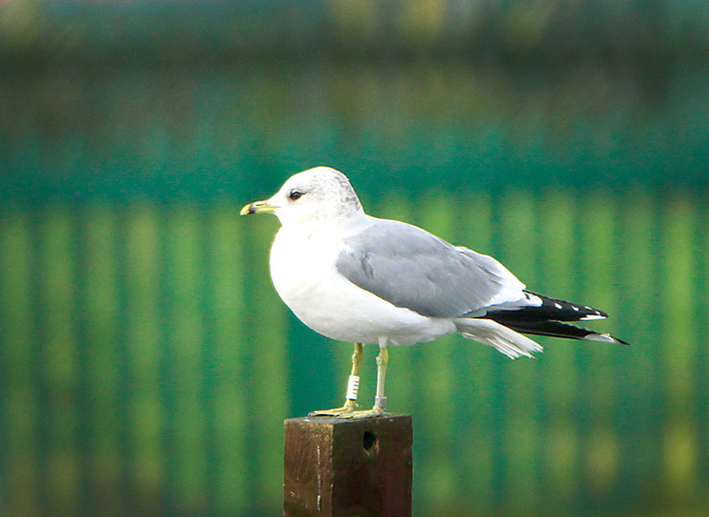 Commom gull colour ringed @ boating lake, tramore