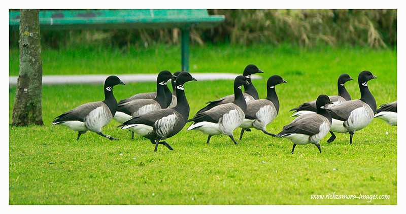 Black Brant with a Brent goose with color yellow ringed on the right leg,@ Pitch and Putt course Dungarvan
