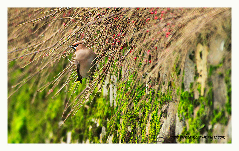 Single Waxwing in Dungarvan, Jan  13,2013