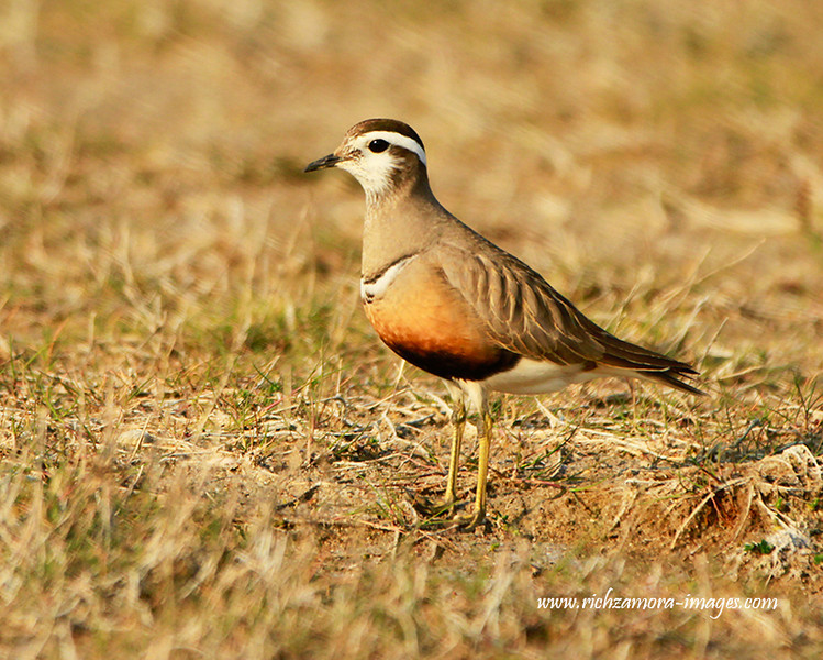Dotterel @ Tacumshin lake,June 8,2013