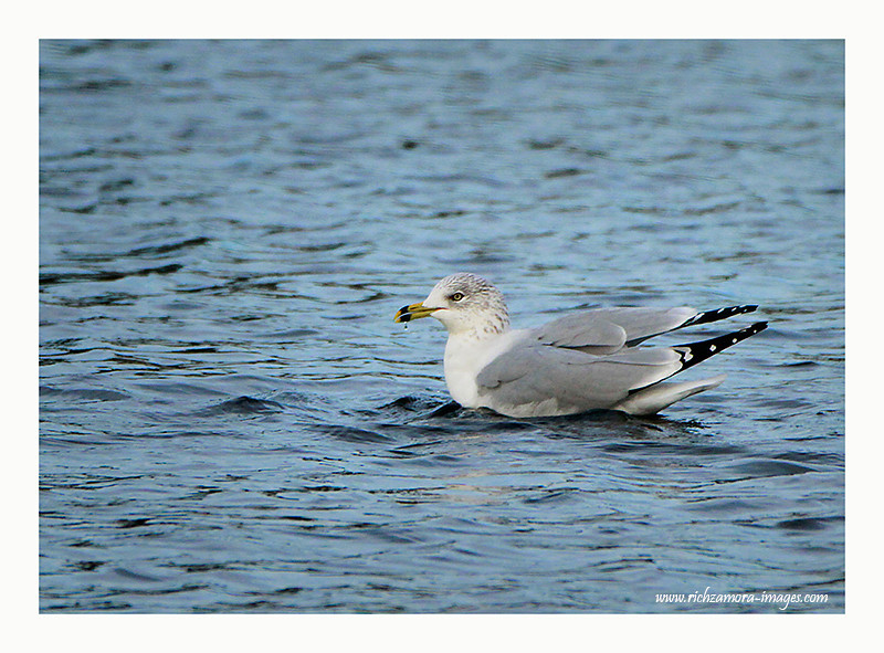Ring-billed Gull @ the boating lake in tramore 2012
