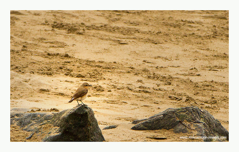 Young wheatear @ Tramore beach ,2012