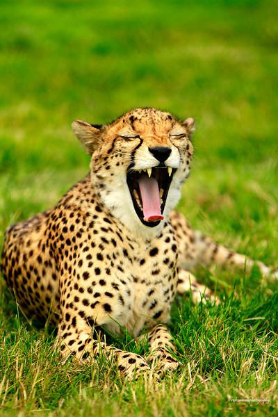 yawing cheetah