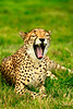yawing cheetah