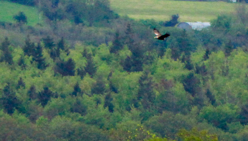 Whitetailed eagle in flight @ mountshannon,May 20,2013