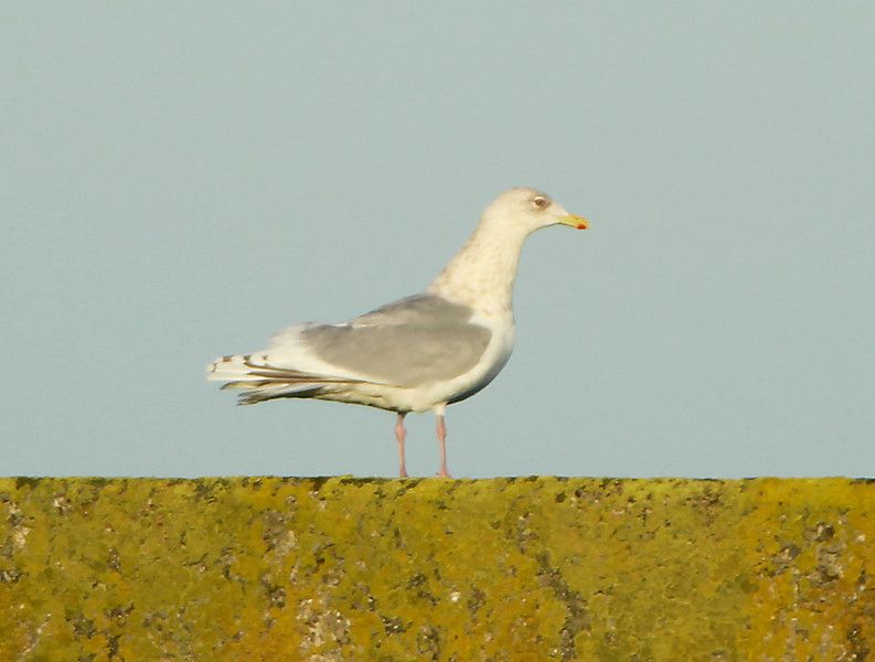 Adult Kumlien's Gull @ Helvick pier,January 20,2014