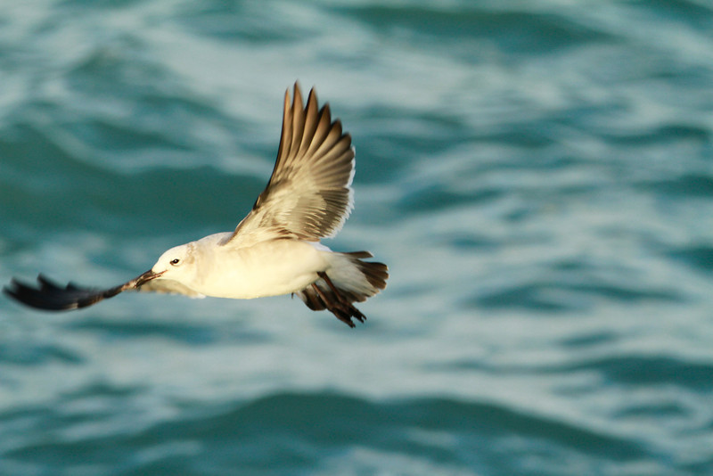 Laughing Gull 1st winter inflight @ Ballycotton harbour Co.Cork.January 18,2014
