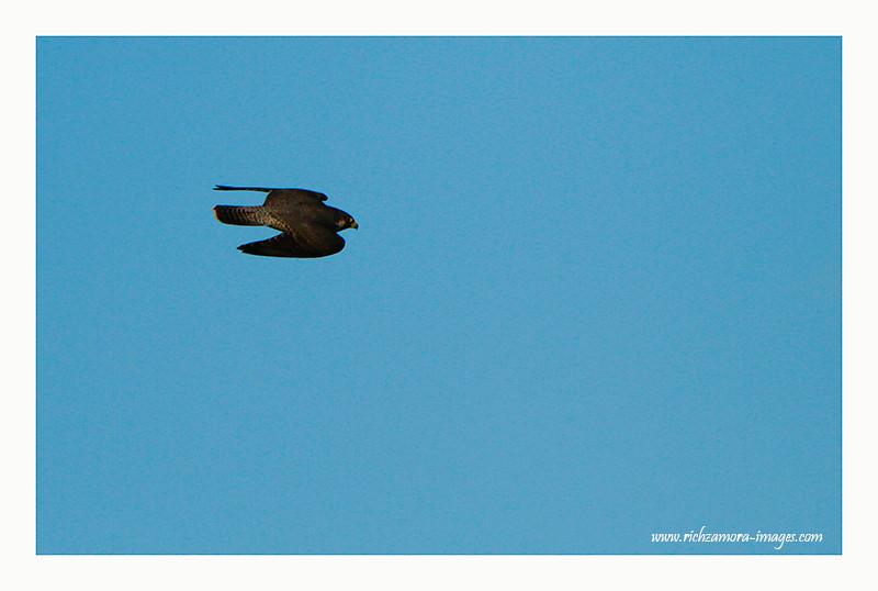 Peregrine Falcon in flight @ Saleen beach, Waterford 2012