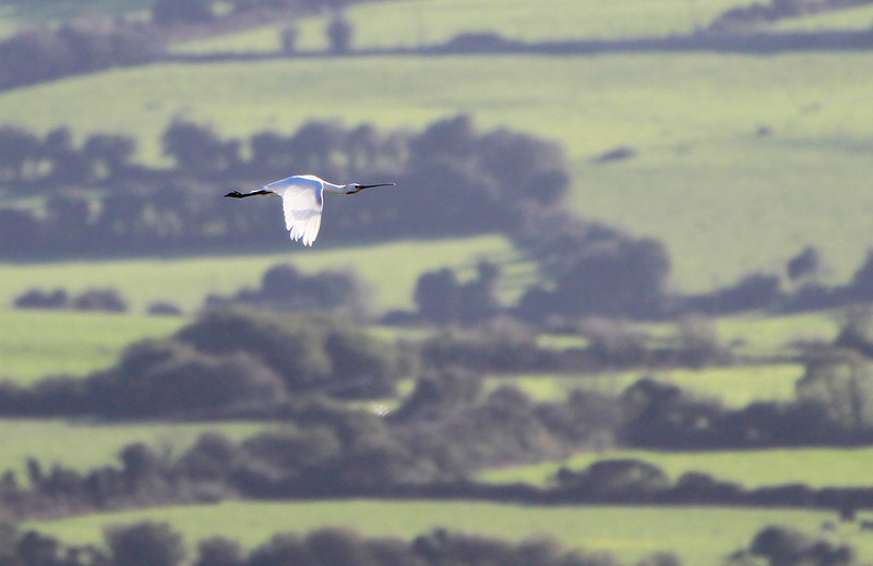 Spoonbill in flight @ Dungarvan Co. Waterford October 28,2013