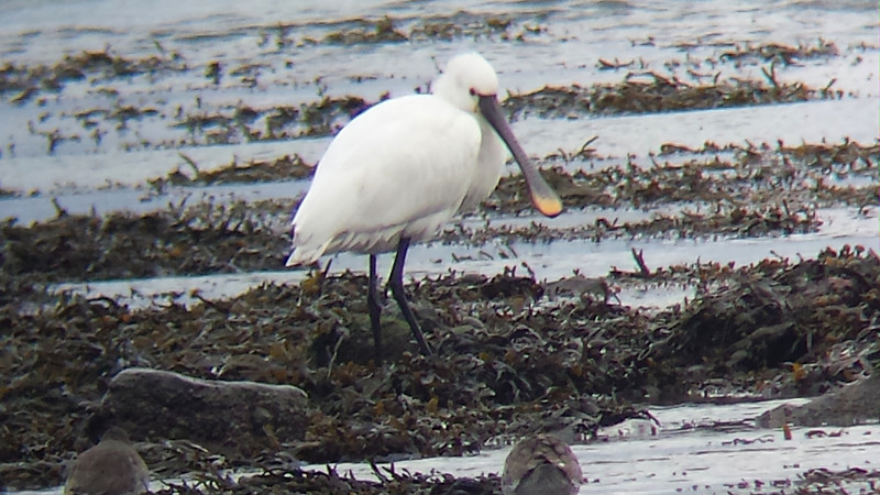 Spoonbill  off Pitch and Putt course,Dungarvan, Co.Waterford.December 9,2013