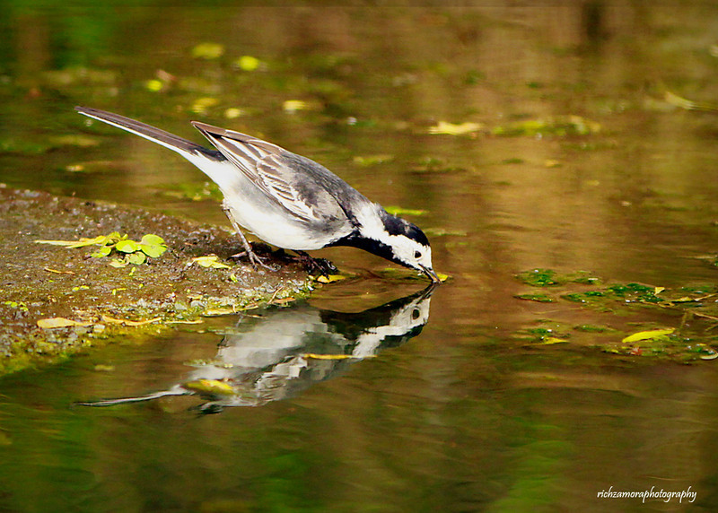 Wagtail reflection