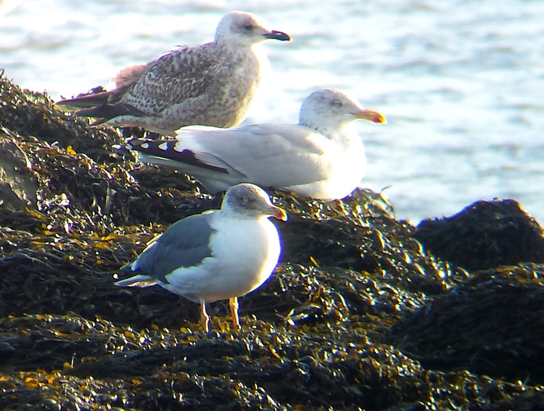 Azorean type Yellow-legged Gull @ Wexford harbour January 22,2014