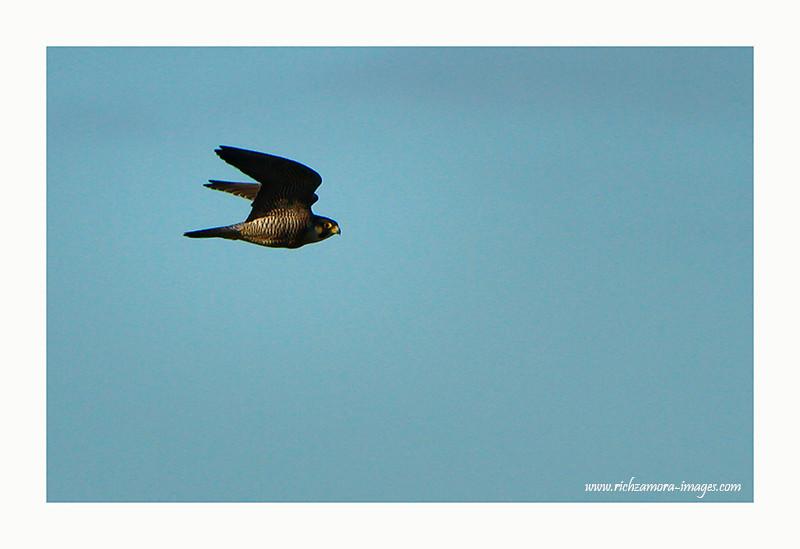 Peregrine Falcon @ Saleen beach, Waterford 2012