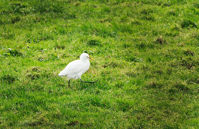 Cattle Egret on st stephens day @ Bunmahon,co.Waterford December 26,2013