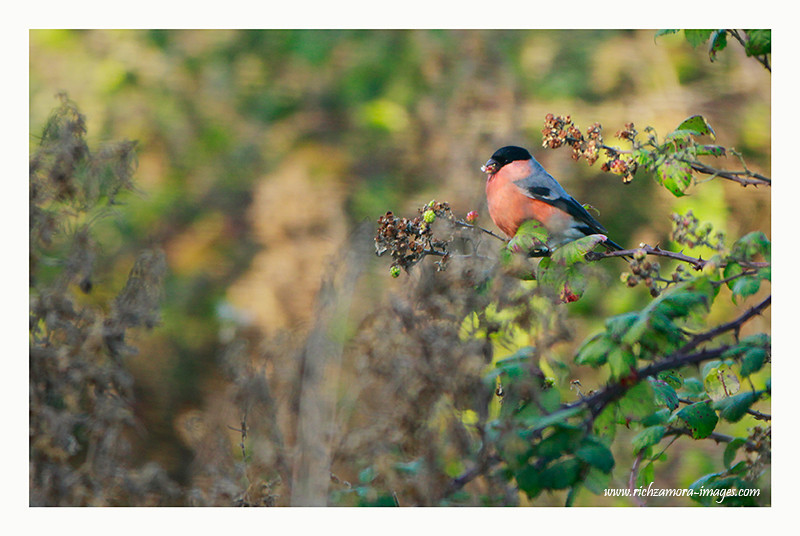 Bullfinch Male @ Salleem beach,waterford