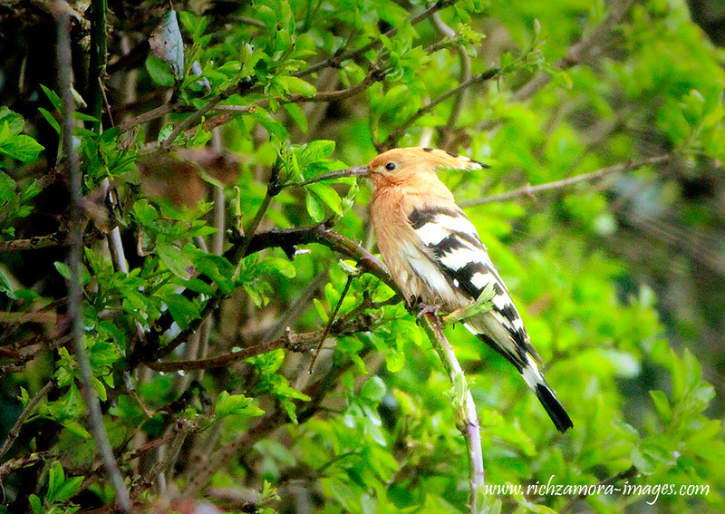 Hoopoe @ Creadan head nr. Dunmore east, waterford,April 17,2013