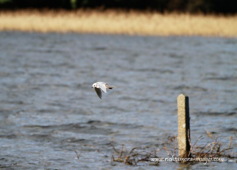 Ross's Gull @ Lady's Island lake,Co.Wexford