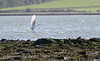Spoonbill @ Dungarvan october 28,2013