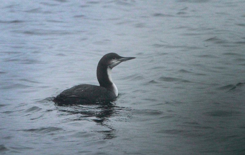 Pacific Diver @ Lough Fea,Co.Tyrone,January 24,2014