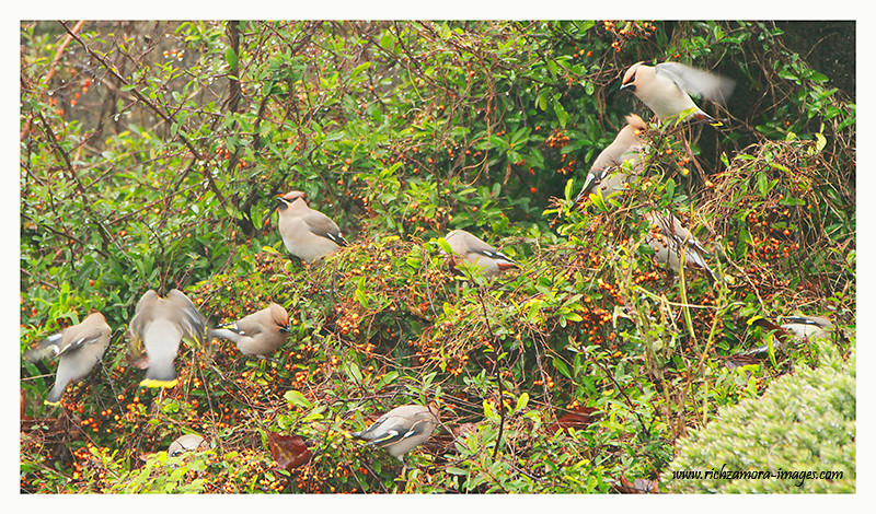 Waxwings eating berries 2012