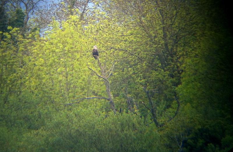 White tailed Eagle @ Bushy Island,mountshannon,May 20,2013