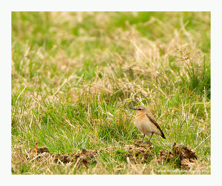 young wheatear