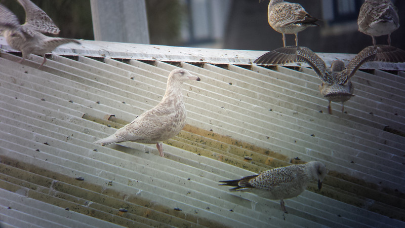 2nd winter Glaucous gull @ Dunmore east,december 5,2013