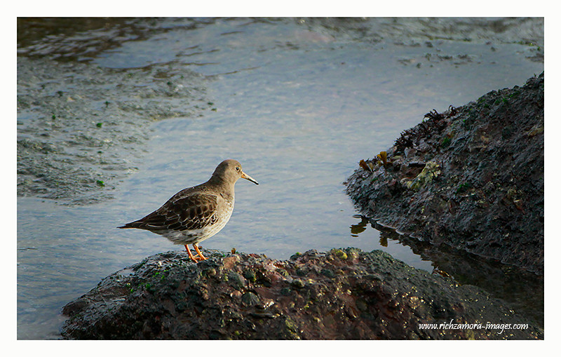 Purple sandpiper @ Dunmore east,waterford Jan 1,2013