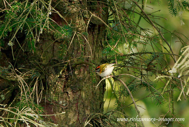 Firecrest at Newtown Glen,Tramore bay,waterford,April 5,2013