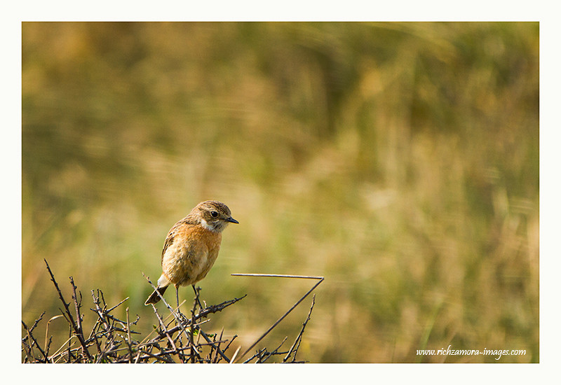 FEMALE STONECHAT @ ANNESTOWN CO. WATERFORD MARCH 2012