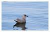 Iceland Gull,1st-winter,@ Dunmore east,Jan 27,2013