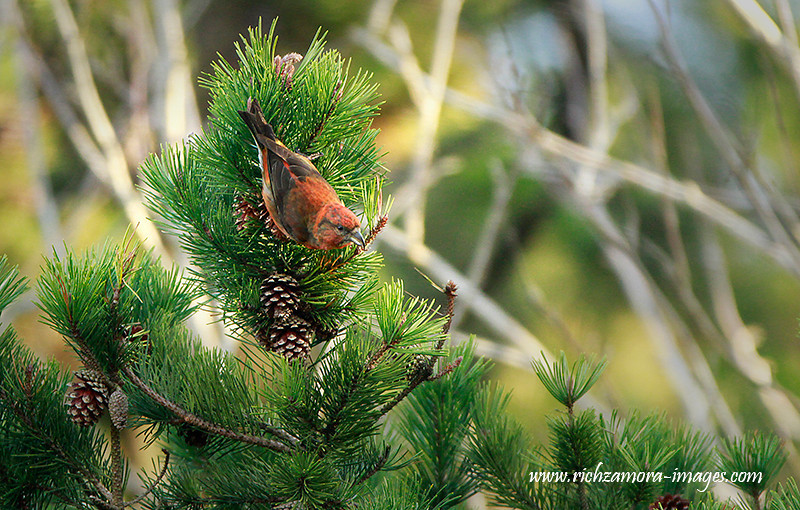 Crossbill @ ballyscanllan lake,waterford,April 6,2013