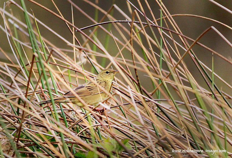 Grasshopper Warbler @ annestown bog,Co.waterford,May 12,2013