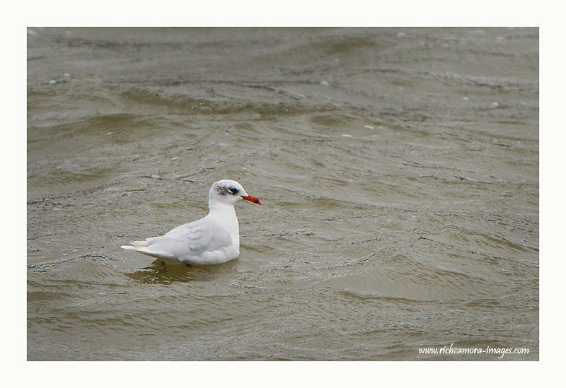 Mediterranean Gull Jan 6,2013  @ Duncanon co.wexford