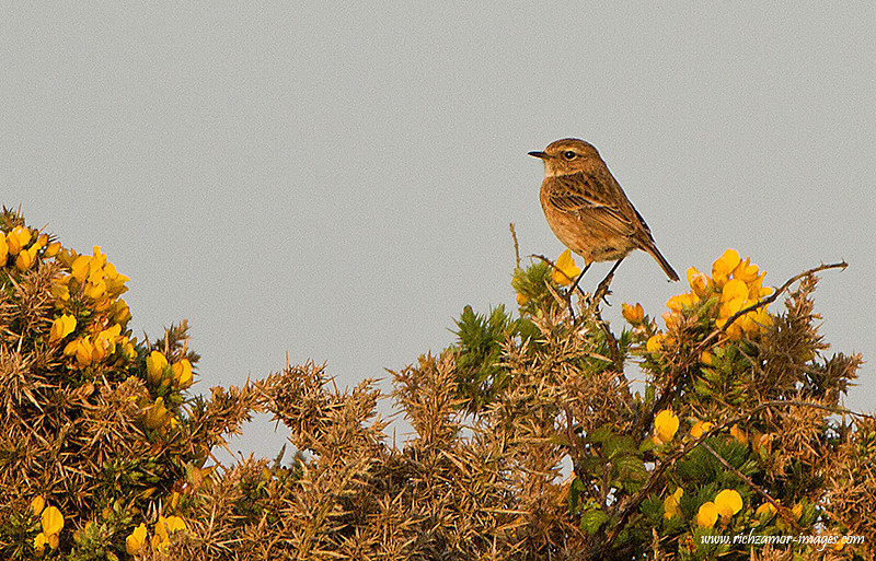 female stonechat @ Brownstown head